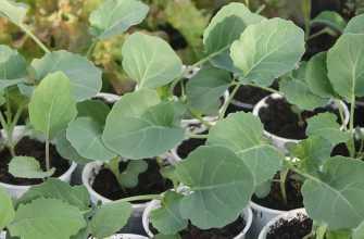 Выращивание брокколи в открытом грунте, посадка, уход, пошаговая инструкция и рекомендации опытных садоводов