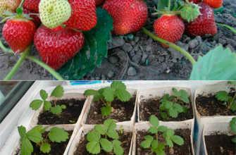 Как вырастить клубнику из семян в домашних условиях на рассаду?
