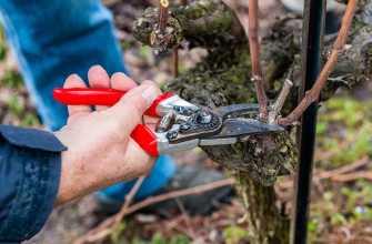 Обрезка осени винограда: инструкции для начинающих
