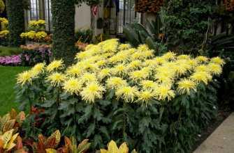Как сажать хризантемы весной, на каком расстоянии сажать, подкормки