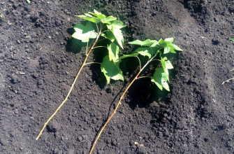 3 лучших способа размножения черной смородины черенками летом