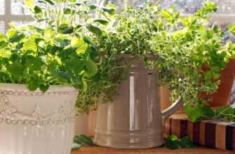 Домашнее выращивание мяты на подоконнике: посадка, уход, сбор урожая