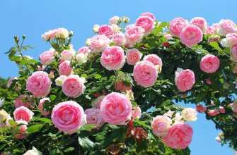 Сорта плетистых роз с прочными цветками, цветущие все лето, зимостойкие сорта