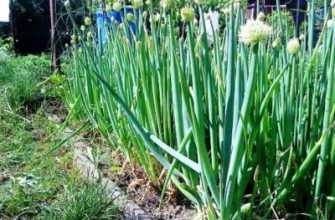 Лук апрельский: выращивание из семян, описание сорта, фото, отзывы