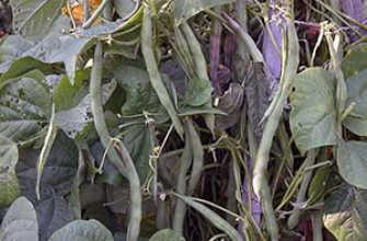 Фасоль: посадка и уход в грунт, выращивание из семян, как хранить