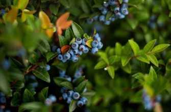 Посадка садовой голубики в открытый грунт весной: правила, схемы