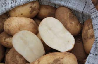 Картофель Удача – описание сорта, фото, отзывы