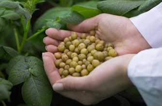 Как вырастить картофель из семян в домашних условиях: за один сезон рассадой, фото и описание луковиц, как посеять элитный картофель, селекция