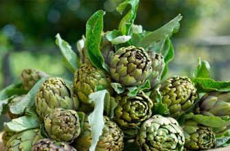 Артишок: выращивание из семян и прививка, характеристика сорта, уход