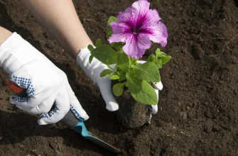 Когда и как сажать рассаду петунии в открытый грунт весной Время Фото Видео
