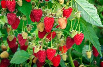 Сорт малины Рубиновое колье – описание, посадка, уход, отзывы