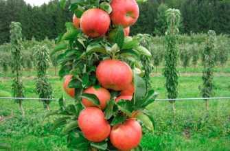 Посадка и уход за деревом яблони в форме колонии: практические советы